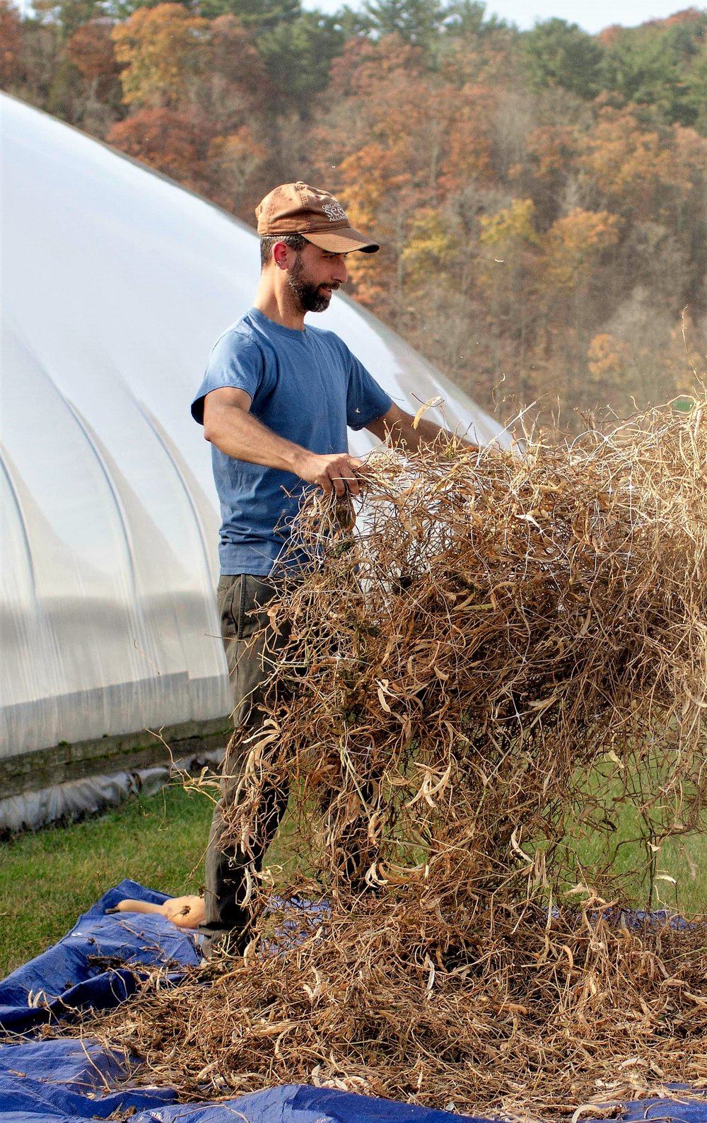 Ken Greene threshing beans for the Native American Seed Sanctuary. Photo courtesy Hudson Valley Farm Hub and Local Economies Project.