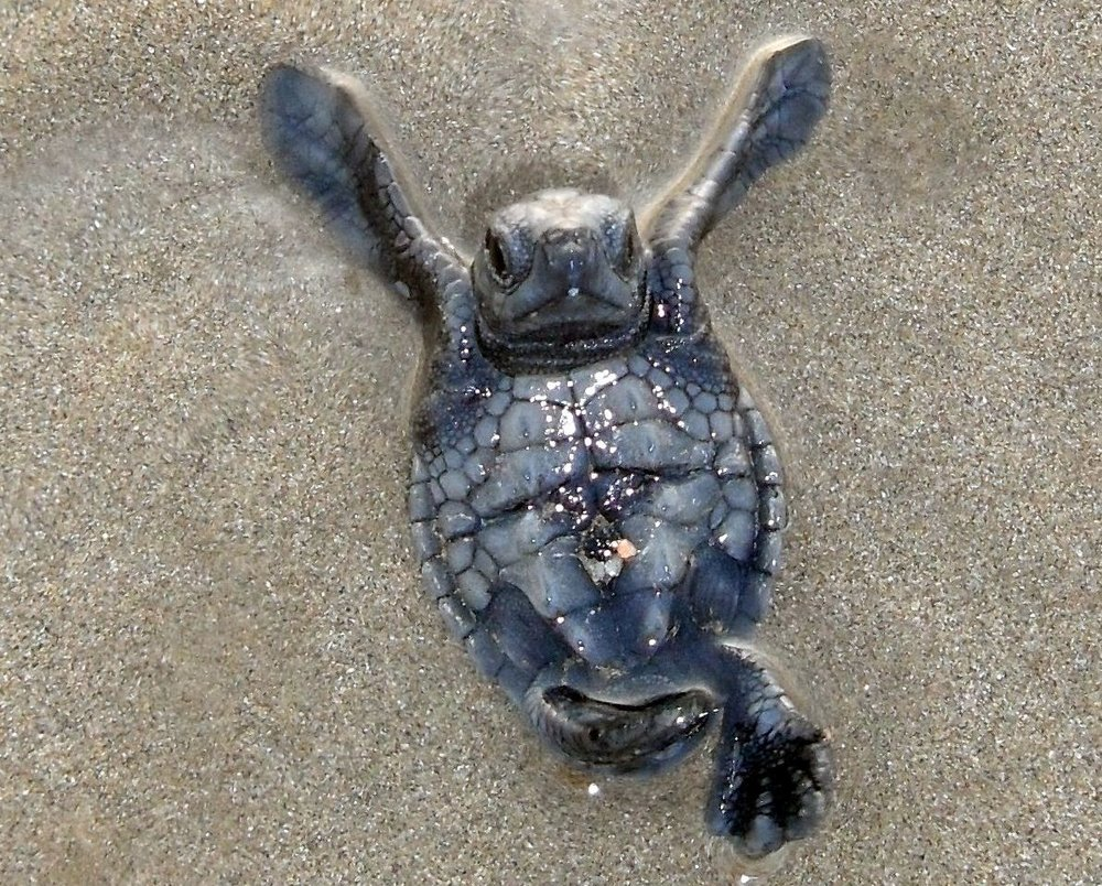 newly hatched ridley sea turtle: one hour old.