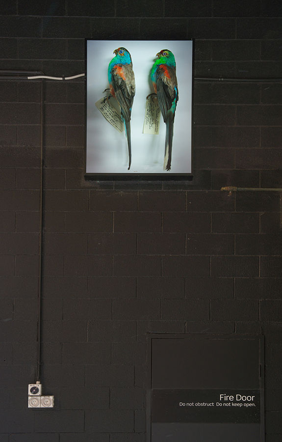 Emma Lindsay, Male Paradise parrots (Psephotus pulcherrimus), Queensland Museum, 2013