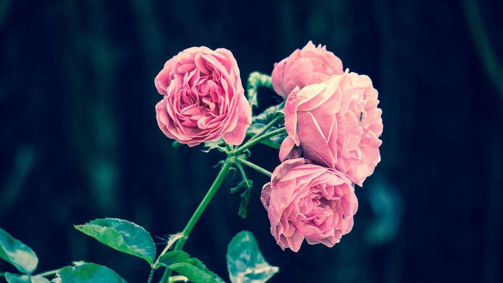 pink-roses-2533389_1920.jpg