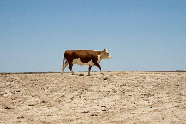 20 Boola Boolka Cow 2006x72.jpg