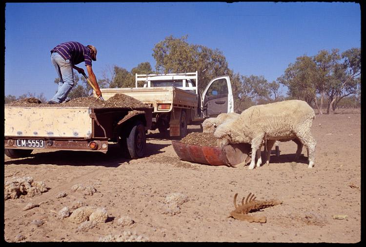 Feeding Sheep1.jpg