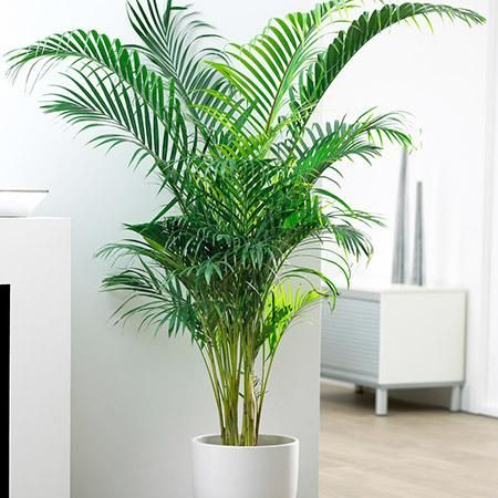 Areca Palm Tree .jpg