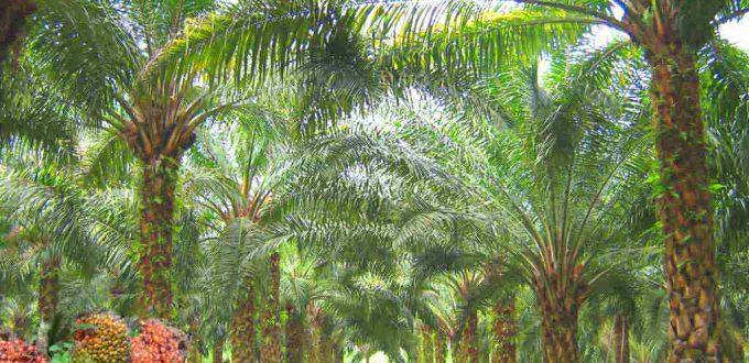 Oilpalm_malaysia-680x330.jpg