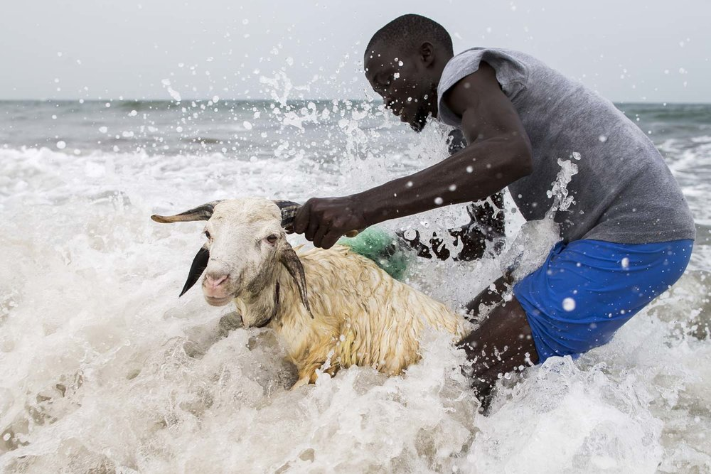 Kabbe, a local Gambian farmer from the town of Kotu, washes his sheep with a fishing net in the Atlantic Ocean.