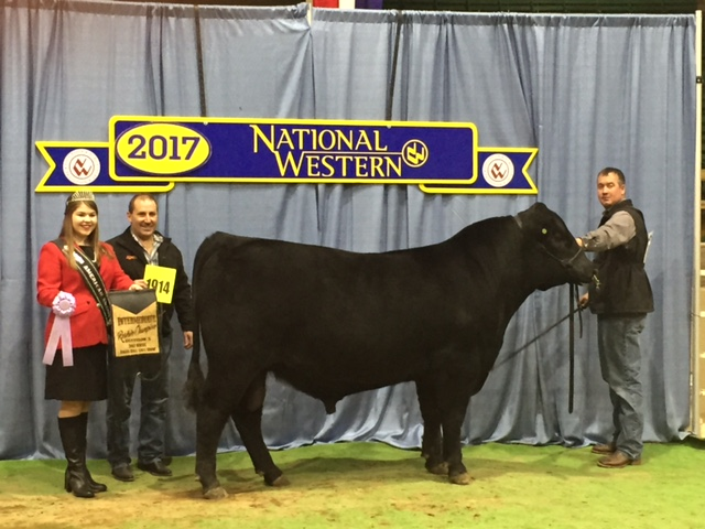 """""""WELYTOK MR ALL AMERICAN 5C31"""" RESERVE CHAMPION IN THE INTERMEDIATE BULL CLASS AT THE 2017 NATIONAL WESTERN ANGUS BULL SHOW SHOW IN DENVER, COLORADO. SEMEN IS AVAILABLE ON THIS PLUS 92 $W BULL AT ORIGEN IN MONTANA.  AAA # 18128767"""
