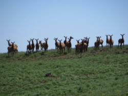 Herd of elk on summer pack trip