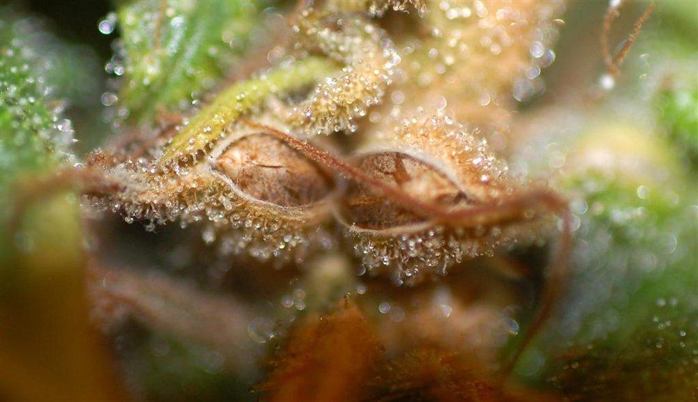 cannabis-macrow_0059.JPG