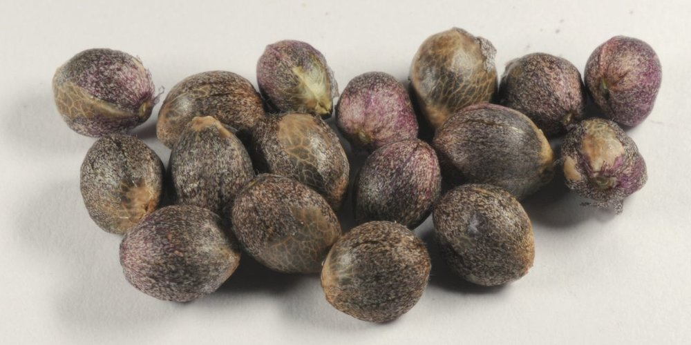 Fresh seeds.jpg