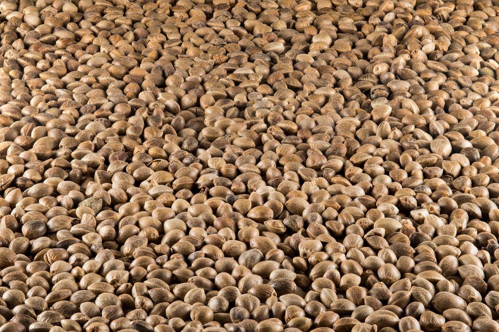 Cannabis seeds depth of field