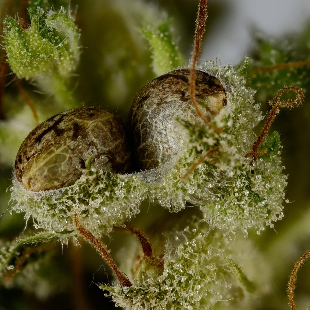 Twin cannabis seeds