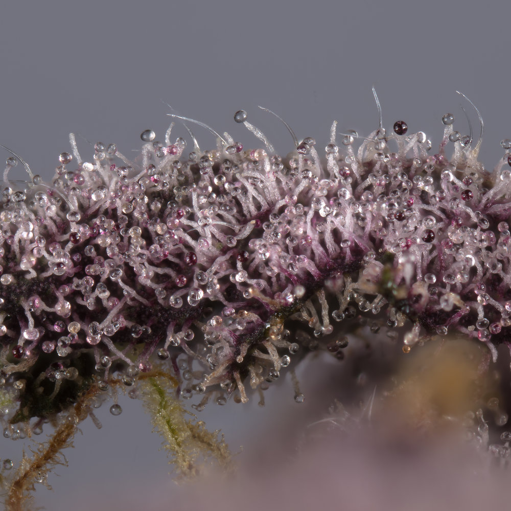 Killingfields purple leaf covered in trichomes
