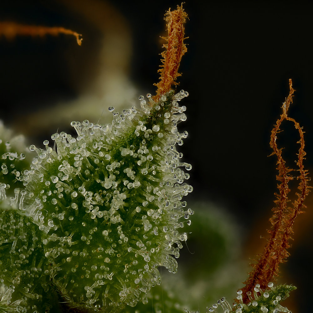 Molokai frost X Killingfields seeded cannabis