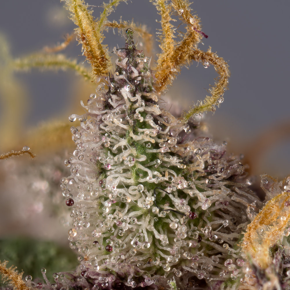 Motherlode coloured trichomes