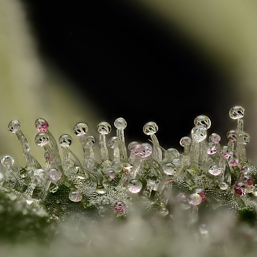 Sugar punch trichomes with coloured heads