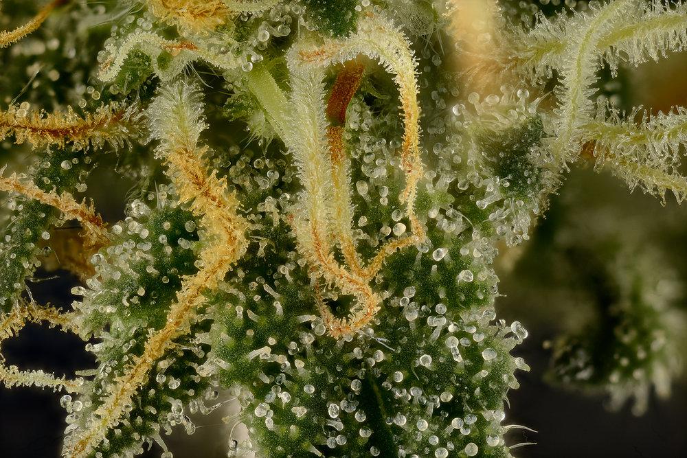 Pollinated cannabis pistols