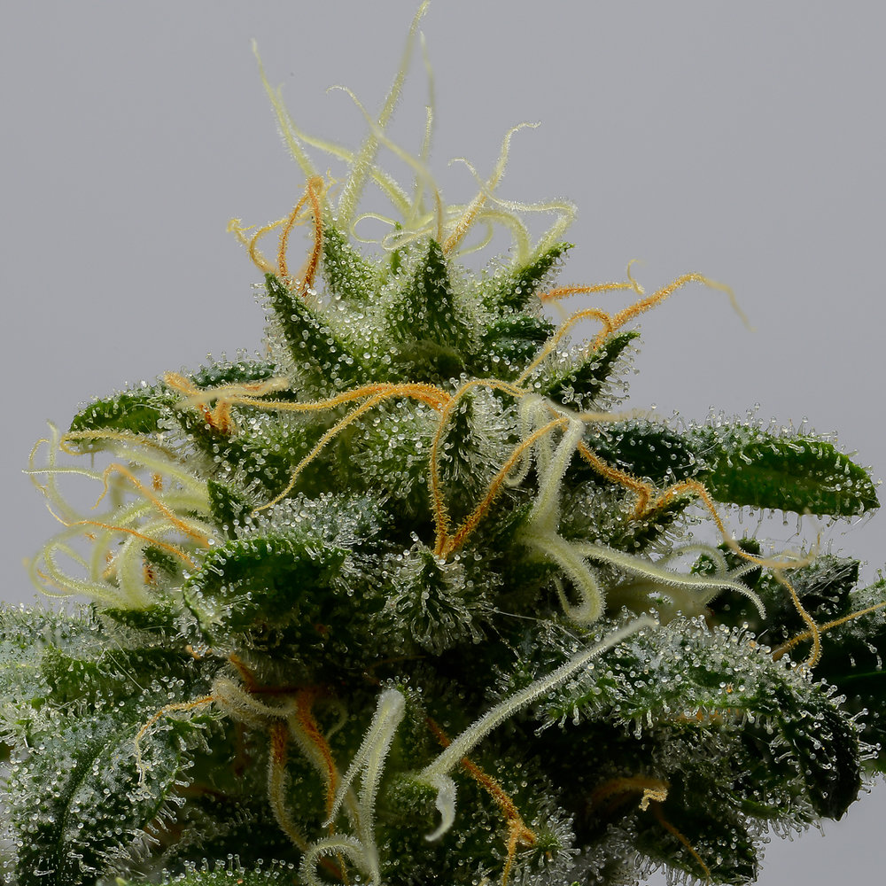 With seeds loaded Madkush