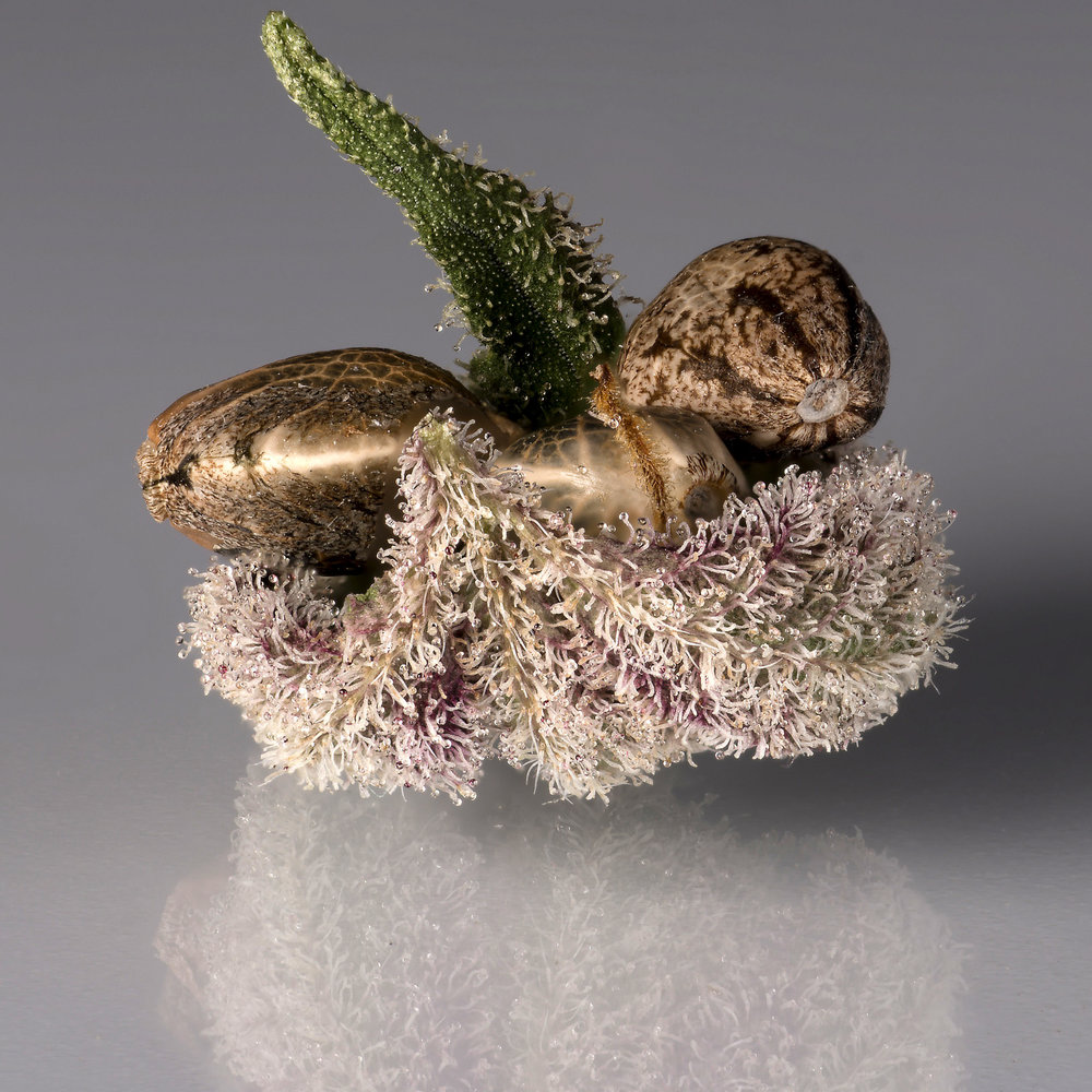 Motherlode seeds on a bed of trichomes