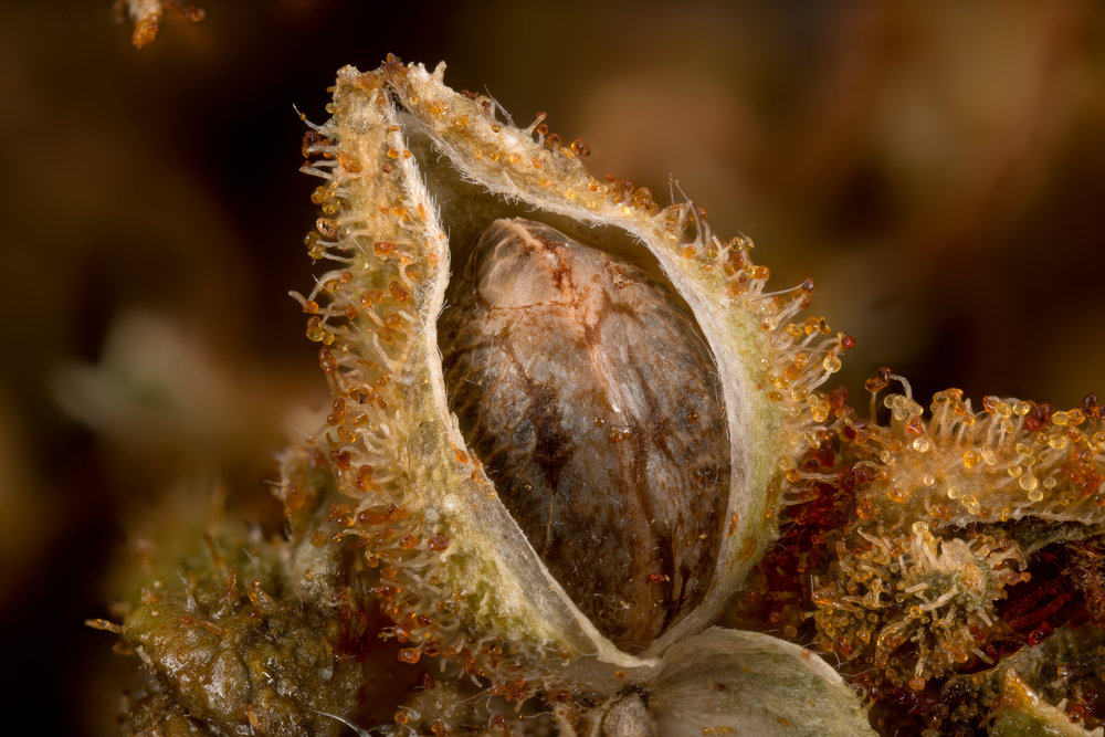 Sanniesjack seed in 12 year old bud
