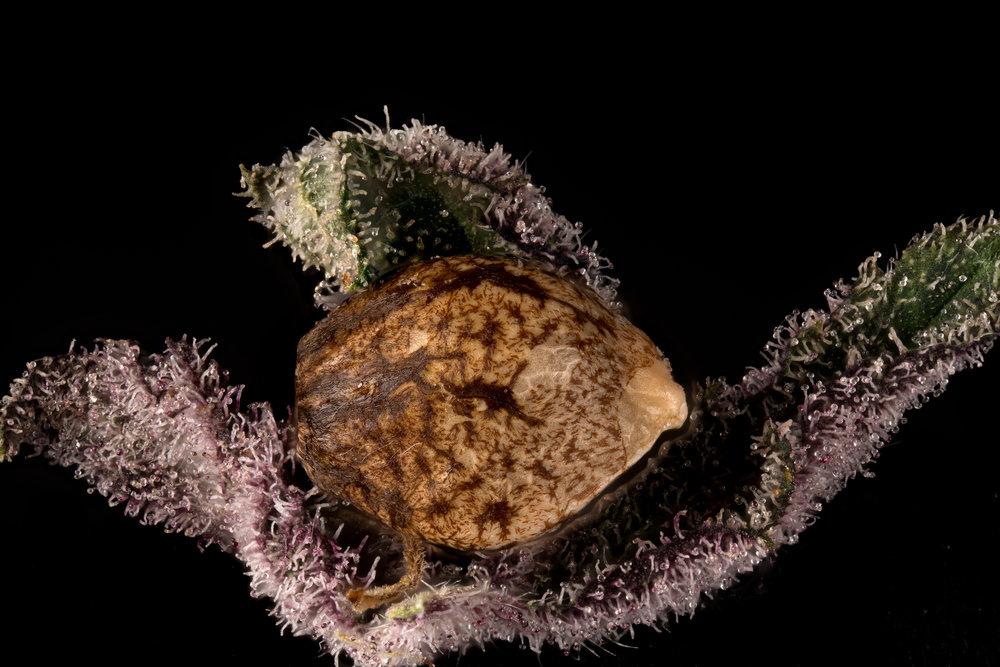 Seed on killingfields trichomes