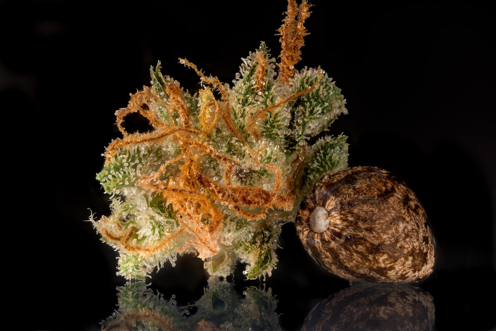 Cannabis seed and dried molokai frost X KF nugget