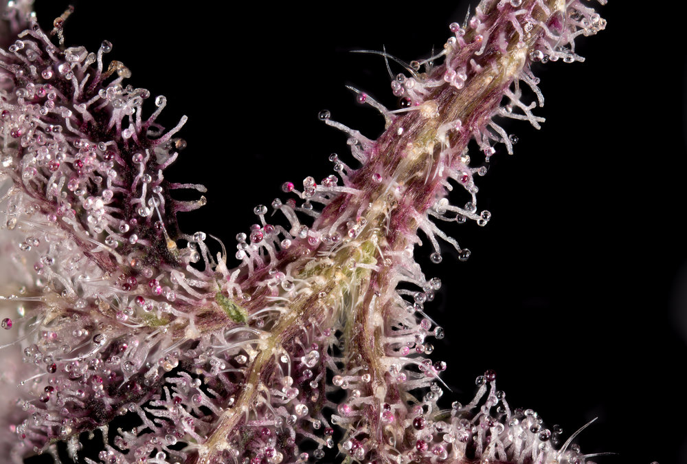 Lower part of killing fields leaf filled with trichomes