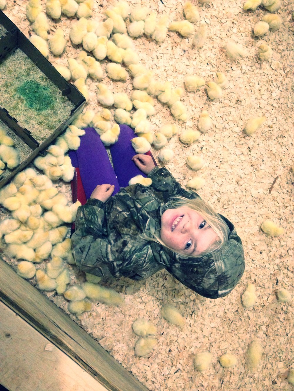 Megan unloading the chicks into the brooder.