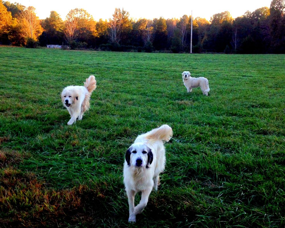Three of our Great Pyrenees guardian dogs.  Gentle giants unless they think you are a coyote!