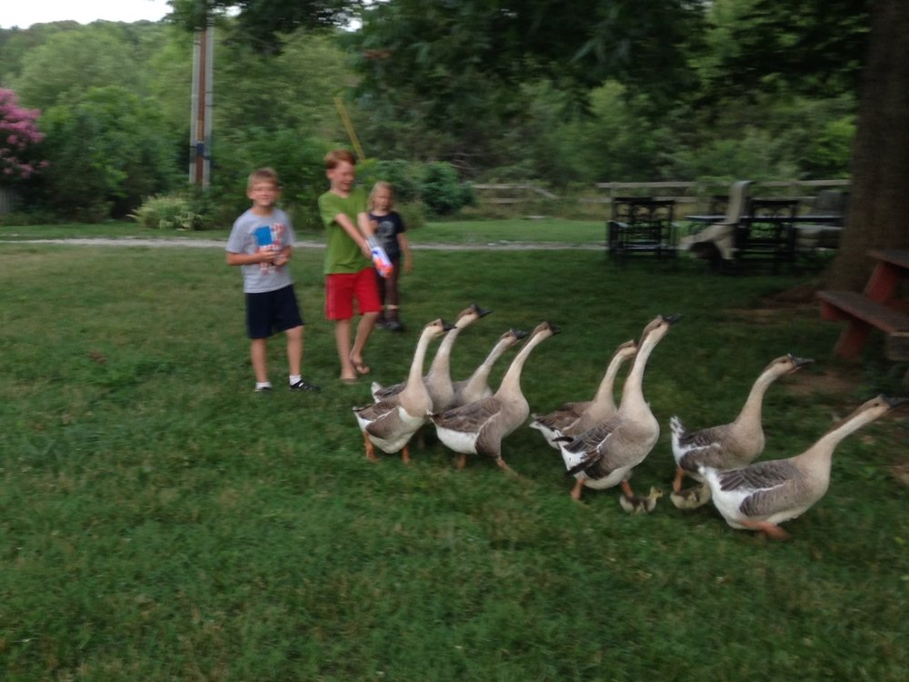 African Geese herding is a fun pastime on the farm.