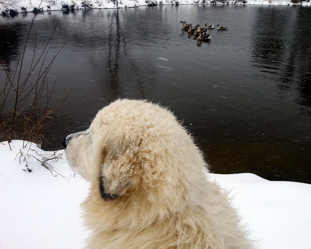 Samson enjoying the snow by the front pond.