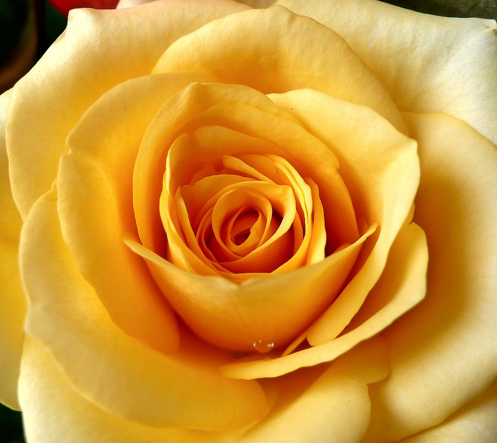 Yellow Roses - Her favorite color was yellow, and any potential courters knew to give her roses of the same color.