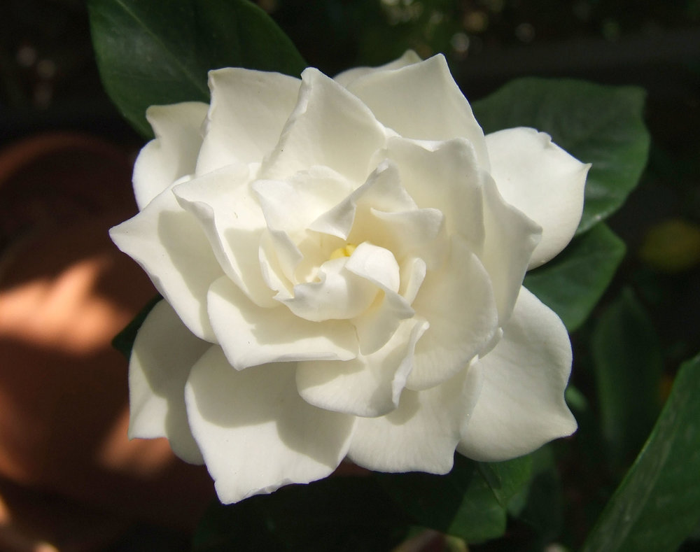 Gardenias - Gardenias -- another of her favorite flowers -- covered her casket at her funeral.