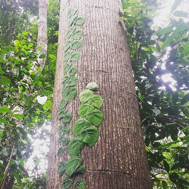 Gorgeous.  #borneo #jungle #conservation