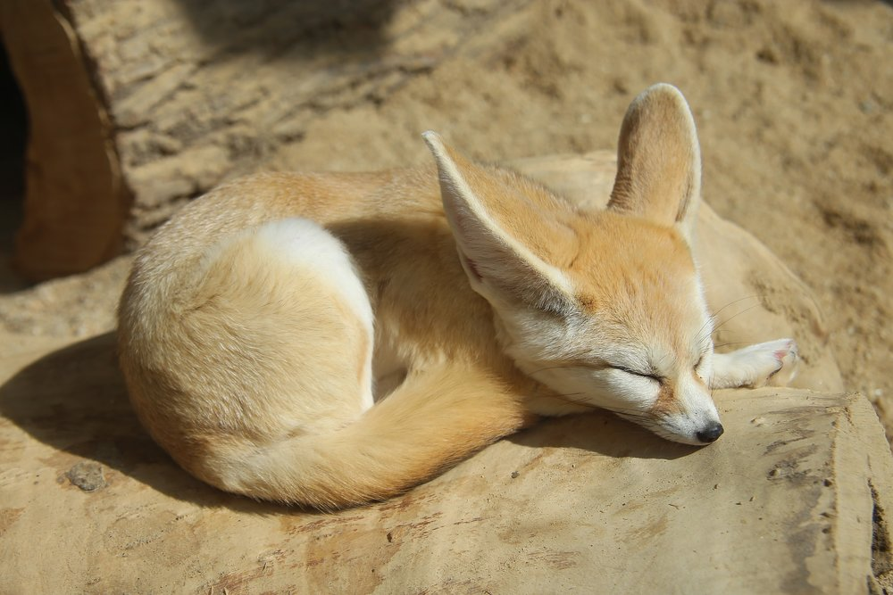 Fenic Fox Sleeping.jpg