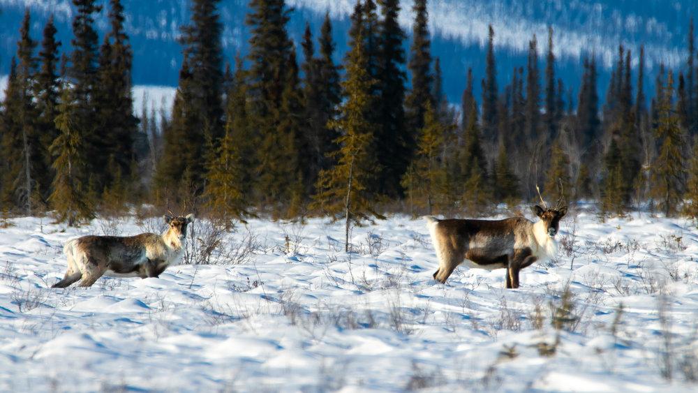 Porcupine Caribou_Arctic Refuge Expedition.jpg