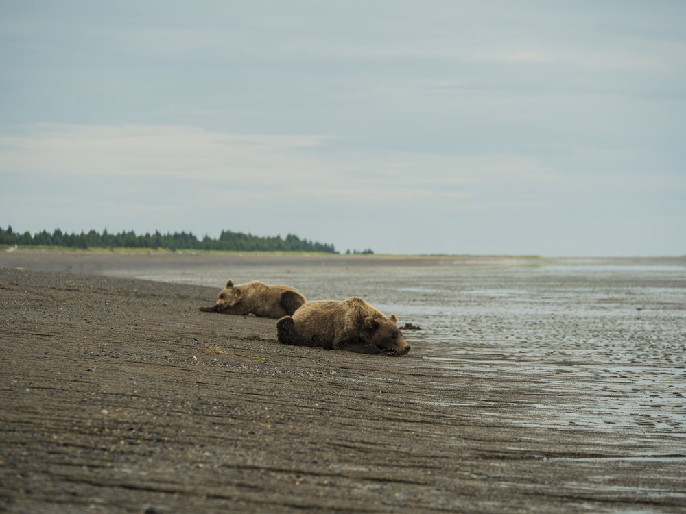 bears of alaska 01.jpg