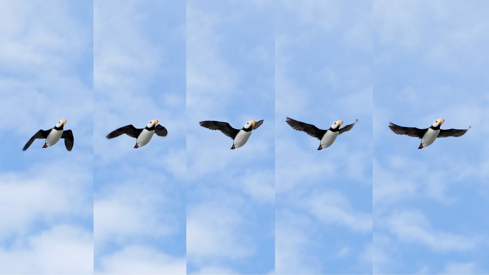 puffin flight.jpg