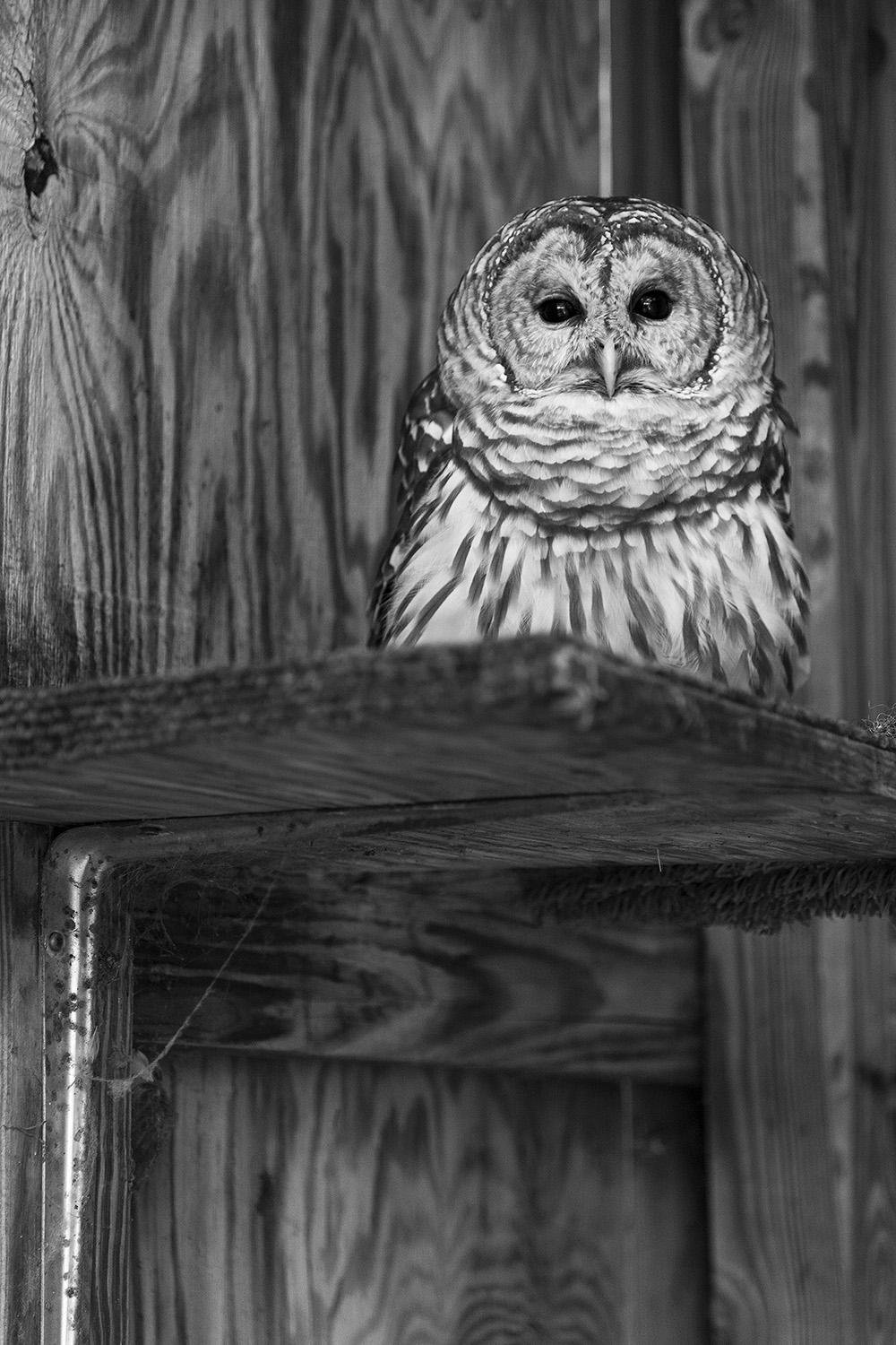 barred-owl-72.jpg