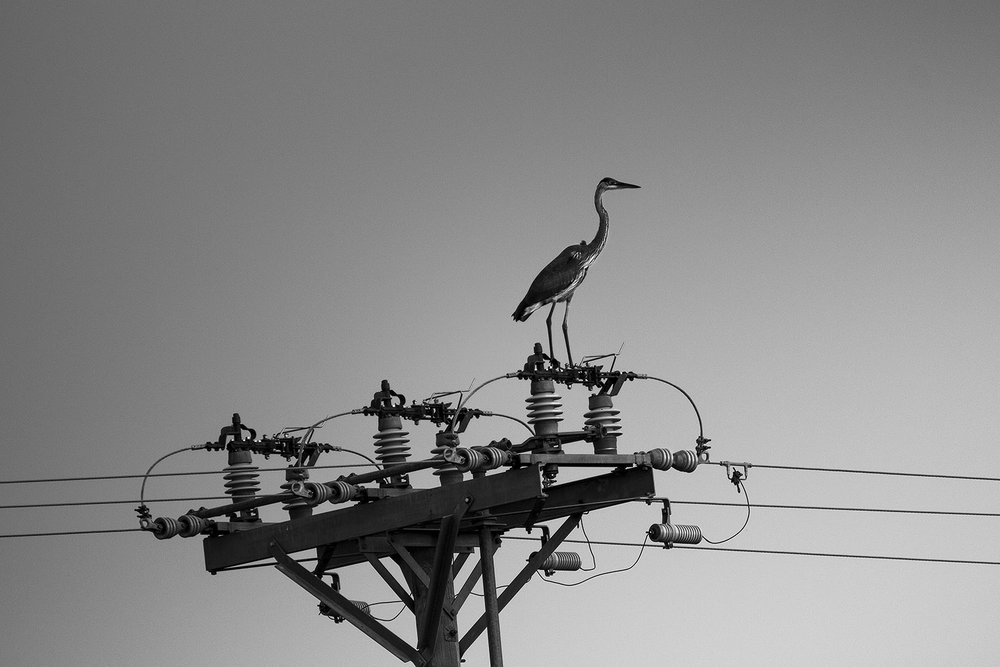 heron-powerline-72.jpg
