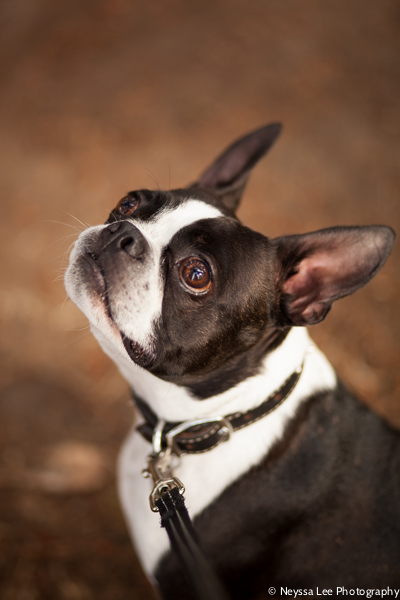 early morning summertime session on the beach, Boston terrier portrait