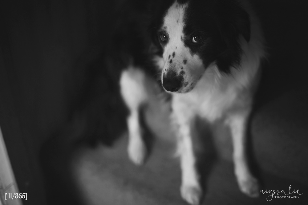 365 Project, Border Collie Photo