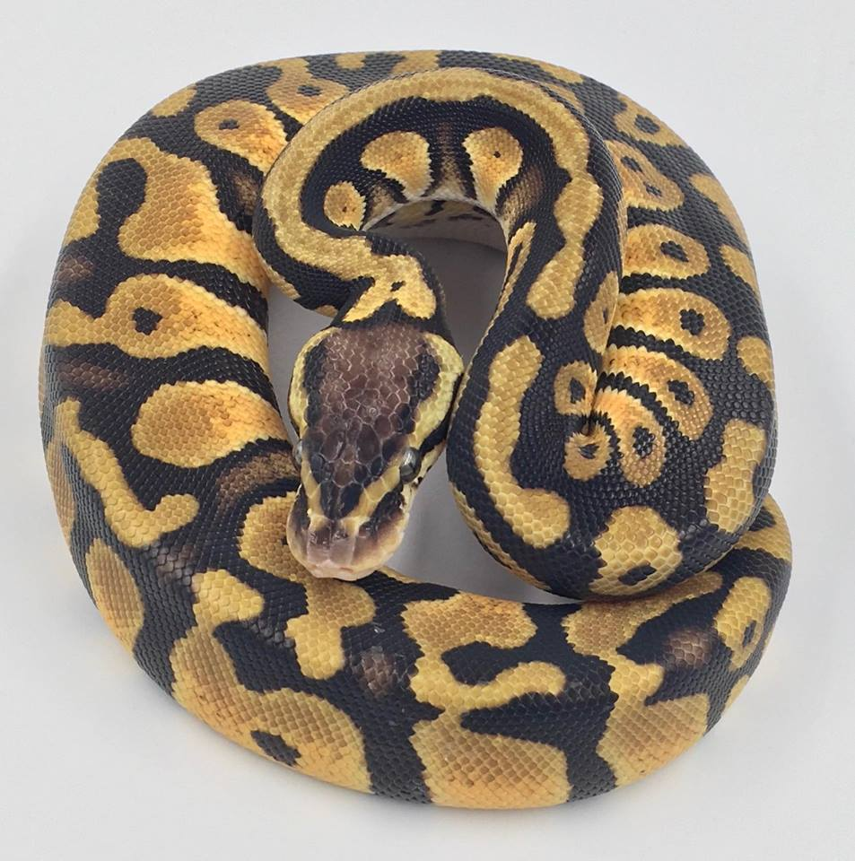 Ball Python Females Skagit Reptiles