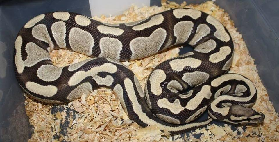 2018 Ball Python Breeding Plans And Clutch Records Skagit Reptiles