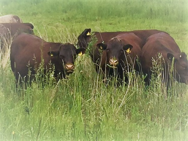 Sussex Cattle Grazing on Thames Path