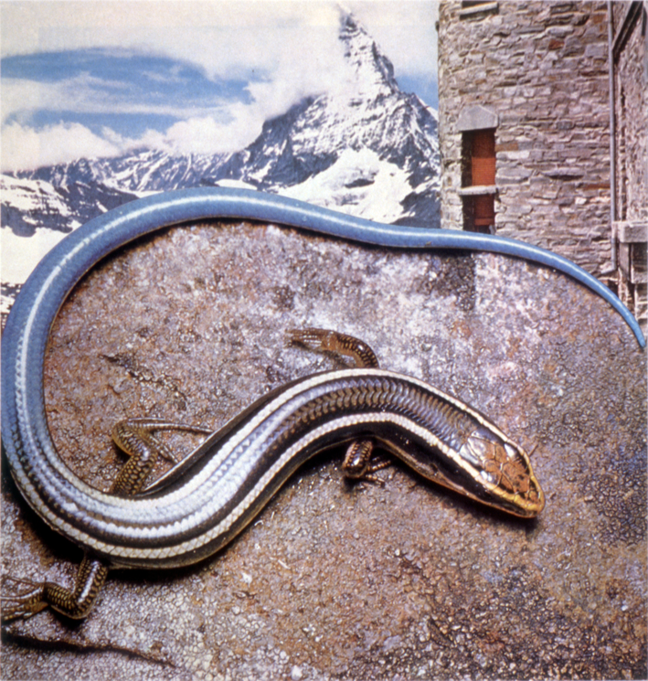 """Skink #2,"" 1994; Collage on Paper; 8.5""X8"""