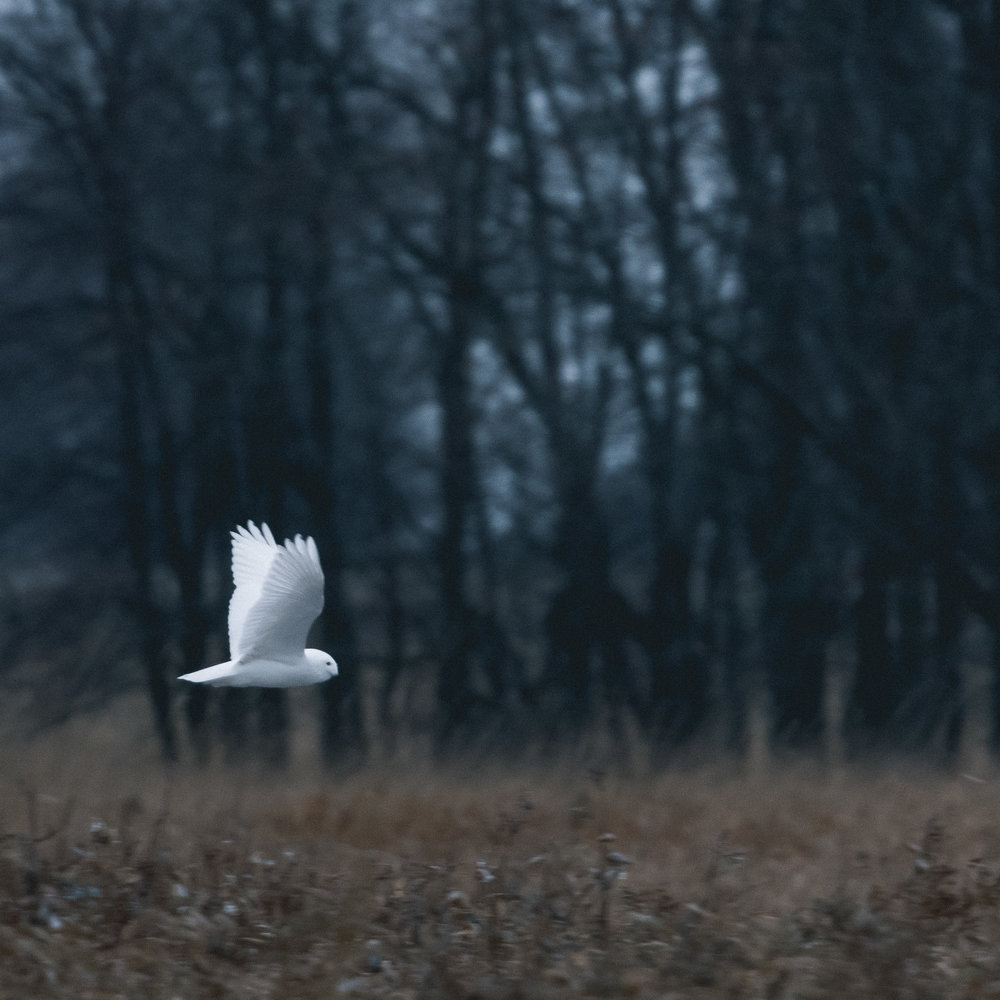 Ghost from the north . Nikon D500 - Nikkor 500mm PF f/5.6. Shot with 1.4 tc iii ISO 1600 - 1/400sec