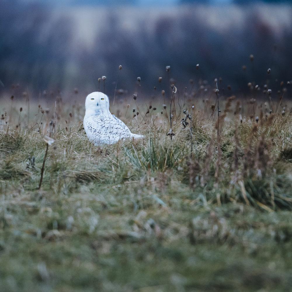 Sleepy owl. Nikon D5 - Nikkor 500mm PF f/5.6. Shot with 1.4 tc iii ISO 1250 - 1/1600sec