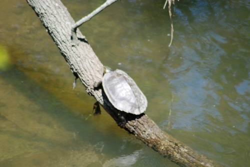 We were not interesting enough for this turtle to give up his sunbathing perch.