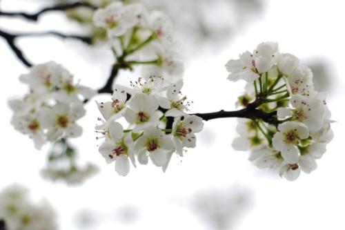 A Bradford Pear tree in bloom