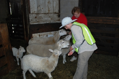 Tara feeding the sheep